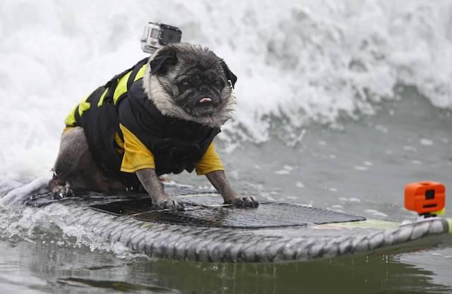 O pug Brandy arrasando na competição. (Foto: Reprodução / Metro UK / REUTERS / Mike Blake)