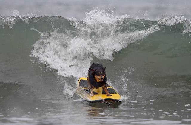 Cachorra competindo na categoria tamanho médio.  (Foto: Reprodução / Metro UK / REUTERS / Mike Blake)