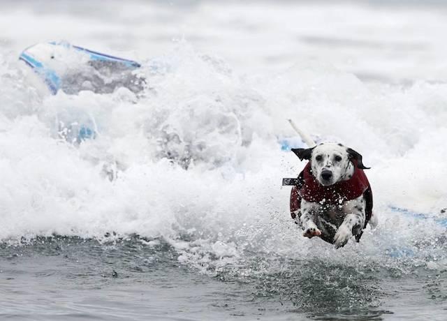 Um dálmata pulando da prancha para sua segurança.  (Foto: Reprodução / Metro UK / REUTERS / Mike Blake)