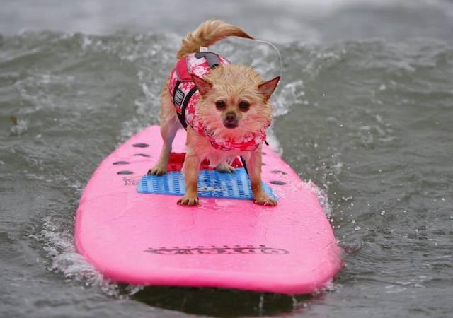 Lulu da Pomerânia Soda surfando para competir na categoria de cães pequenos.  (Foto: Reprodução / Metro UK / REUTERS / Mike Blake)