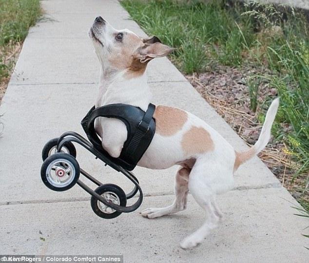 KanDu usando cadeiras de rodas criada para pets. (Foto: Reprodução / Daily Mail UK)