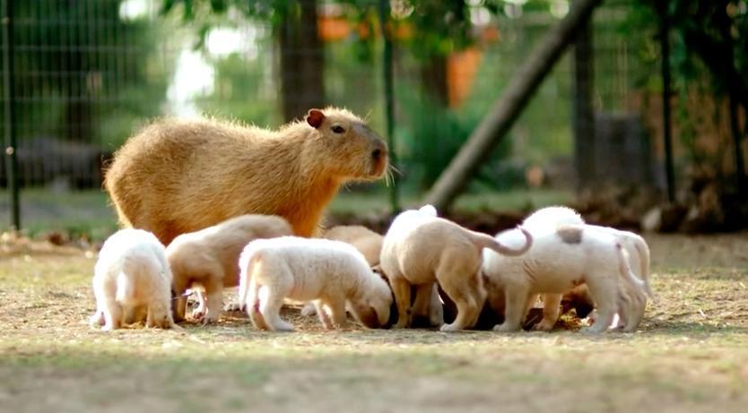 A capivara é mãe adotiva de todos esses filhotes de cachorro. (Foto: Reprodução / The Dodo)