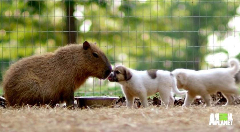 A capivara é muito amorosa com os cachorrinhos. (Foto: Reprodução / The Dodo / Animal Planet)