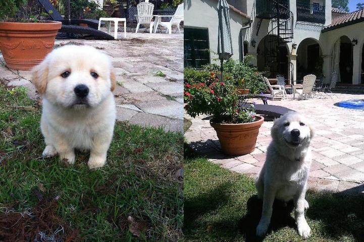 filhote-adulto-transformação-cachorros-05