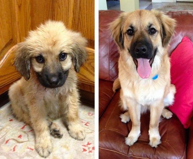 filhote-adulto-transformação-cachorros-10