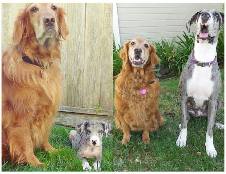 filhote-adulto-transformação-cachorros-13