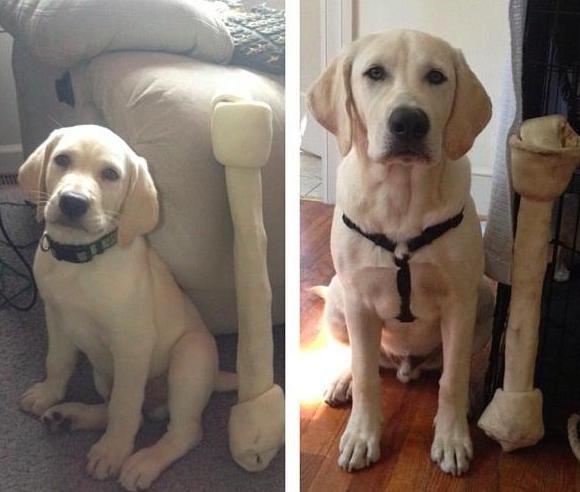 filhote-adulto-transformação-cachorros-15