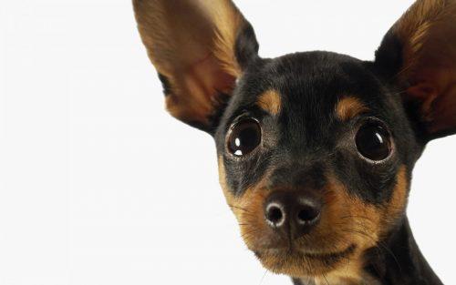 Pinscher miniatura portal do dog para quem ama cachorros for Pinscher medio