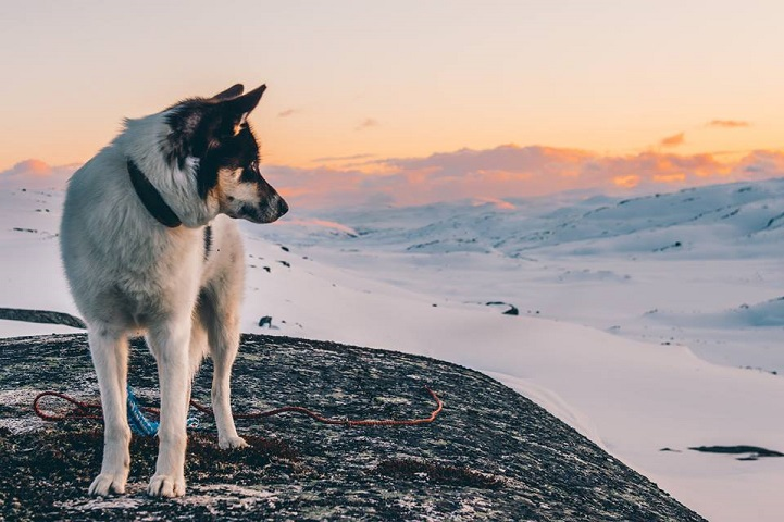 akiak-husky-siberiano-noruega-01