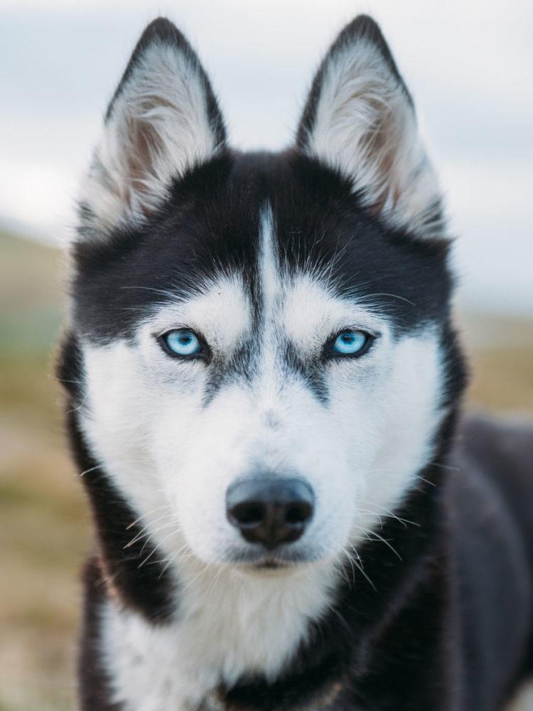 akiak-husky-siberiano-noruega-05