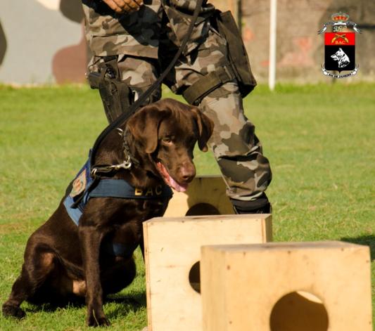 A cadela CLEO sinalizando a existência de substância explosiva na caixa de treinamento. Foto: SD Lopes (BAC).