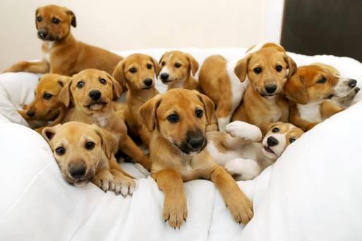 A cachorra Cinnamon e seus doze filhotes. (Foto: Reprodução / Independent.ie)