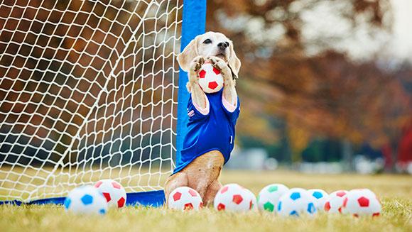 A beagle Purin defende melhor do que muitos goleiros! (Foto: Reprodução / Guinness World Records)