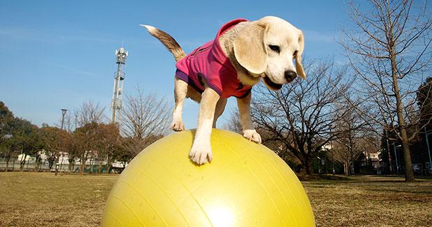 A cachorra Purin consegue se equilibrar em cima de uma bola de pilates. (Foto: Reprodução / Guinness World Records)