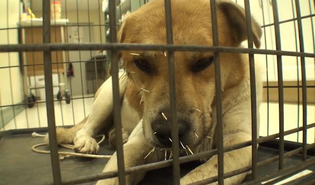 O cachorro foi atacado por um porco-espinho. (Foto: Reprodução / Youtube / Vet Ranch)
