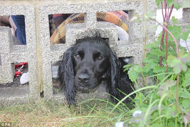 Cachorros costumam pedir ajuda dos humanos para solucionar problemas. O cão da foto ficou preso em um muro decorativo. (Foto: Reprodução / Daily Mail UK)