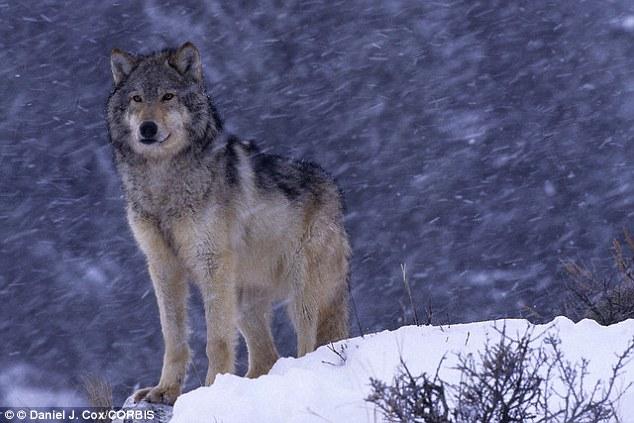 Os lobos são mais independentes porque não tem ajuda dos humanos para sobreviver. (Foto: Reprodução / Daily Mail UK)