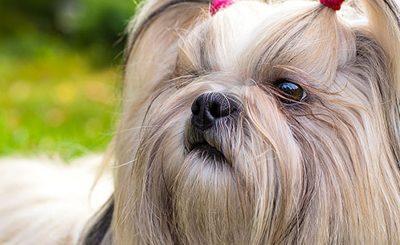 Raças de Cachorros - Raças de A a Z Xoloitzcuintli Miniatura