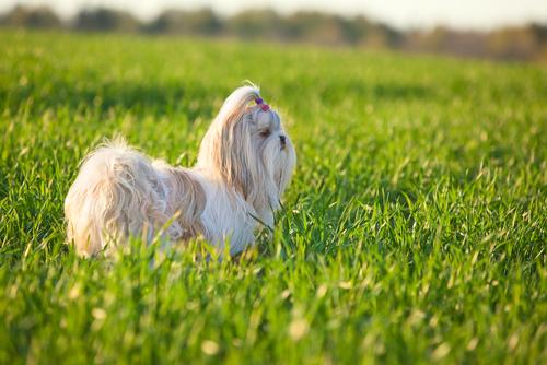 Shih Tzu (Foto: Reprodução / The I Love Dogs)