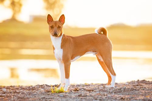 Basenji. (Foto: Reprodução / The I Love Dogs)
