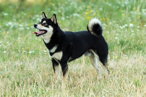 Shiba Inu. (Foto: Reprodução / The I Love Dogs)