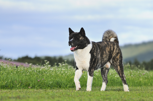 Akita. (Foto: Reprodução / The I Love Dogs)