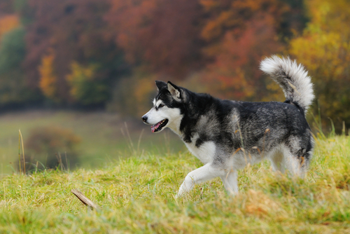 Malamute do Alaska. (Foto: Reprodução / The I Love Dogs)