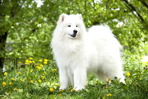 Samoieda. (Foto: Reprodução / The I Love Dogs)