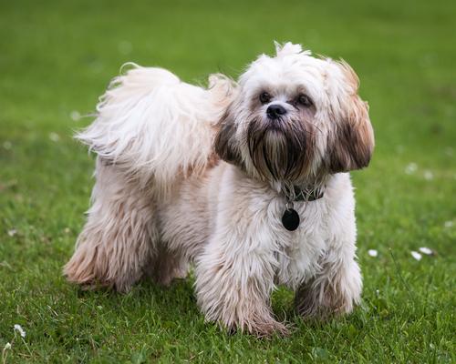 Terrier Tibetano. (Foto: Reprodução / The I Love Dogs)