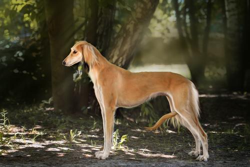 Saluki. (Foto: Reprodução / The I Love Dogs)