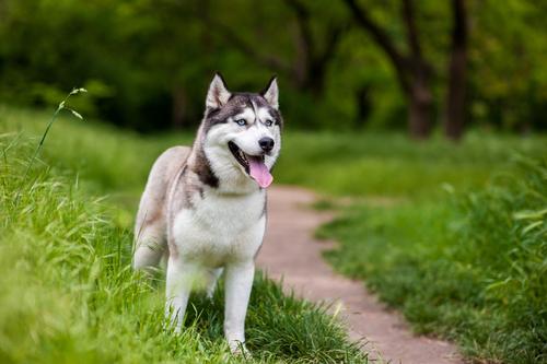 Husky Siberiano. (Foto: Reprodução / The I Love Dogs)