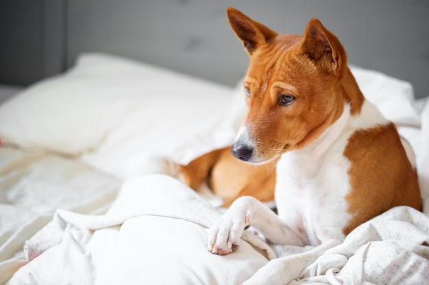 Raças de cachorros mais quietas