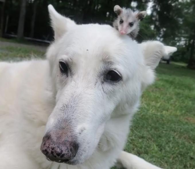 A cachorra Hantu e o gambá Poncho são inseparáveis. (Foto: Reprodução / Youtube)