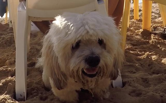 O cachorro Choppinho curtiu muito as praias de Noronha. (Foto: Fabricio Ladeira)