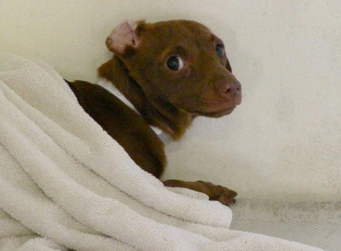 O cão Diggle está tão assustado que não sai debaixo do cobertor. (Foto: Reprodução / Facebook / Saving Carson Shelter Dogs)