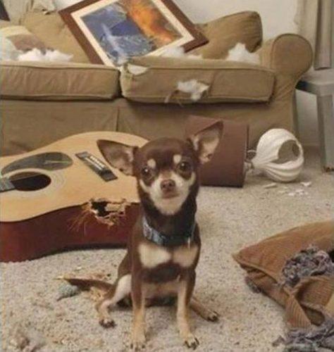 cachorro-flagra-bagunca (5)