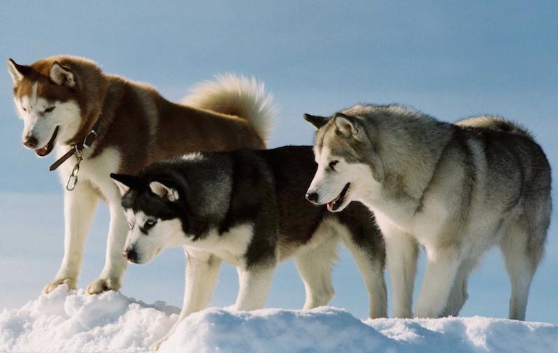 14 Raças De Cães Que Têm Maior Grau De Parentesco Com Os Lobos