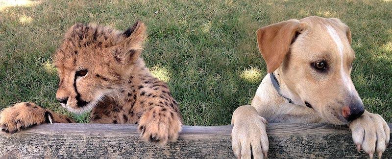 O guepardo Kumbali e o cachorro Kago são melhores amigos.  (Foto: Reprodução / Metro Richmond Zoo)