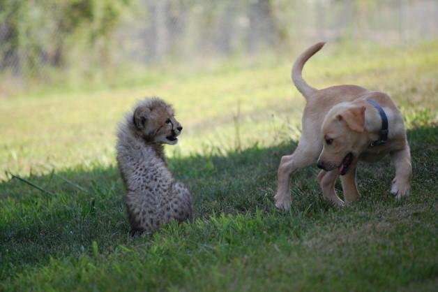 Eles adoram brincar. (Foto: Reprodução / Metro Richmond Zoo)
