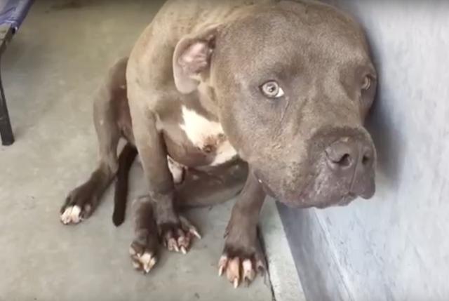 O pit bull Cruz estava muito assustado. (Foto: Reprodução / Youtube)