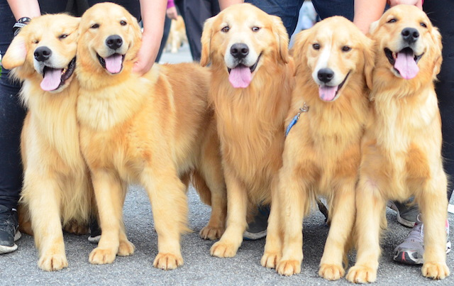 Golden Retriever. (Foto: Karina Sakita)