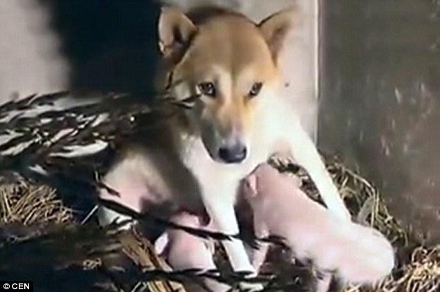 A cachorra cuida dos três leitões como se fossem seus próprios filhotes. (Foto: Reprodução / Daily Mail UK)