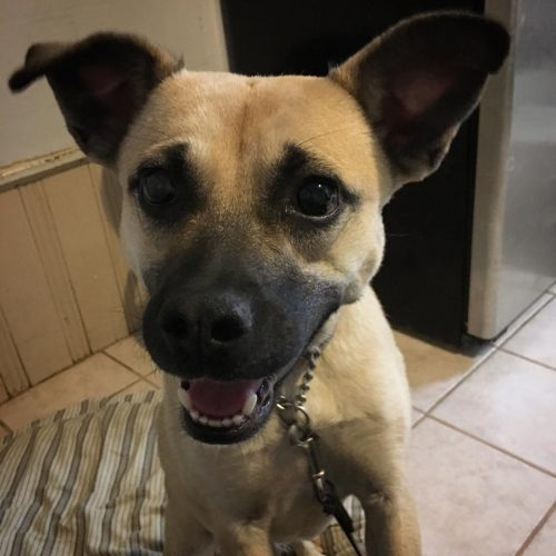Felizmente, a cachorra Angel está bem. Essa é uma foto atual dela. (Foto: Reprodução / Facebook / Rescue From the Hart)