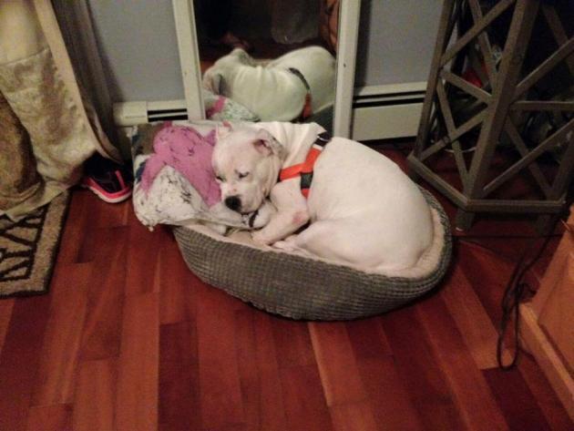 A cachorra adora seu novo lar e sua família. Foto: Reprodução / Facebook / ONG Red Hook Dog Rescue)