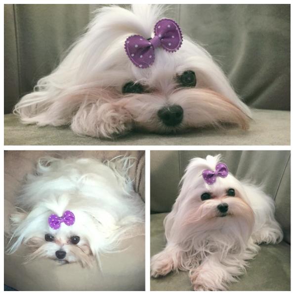 Dia 13 foi o aniversário da maltês Daisy. (Foto: Reprodução / Instagram)