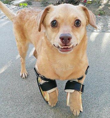 A cachorra Daisy com suas próteses. (Foto: Reprodução / Underbite Unite)