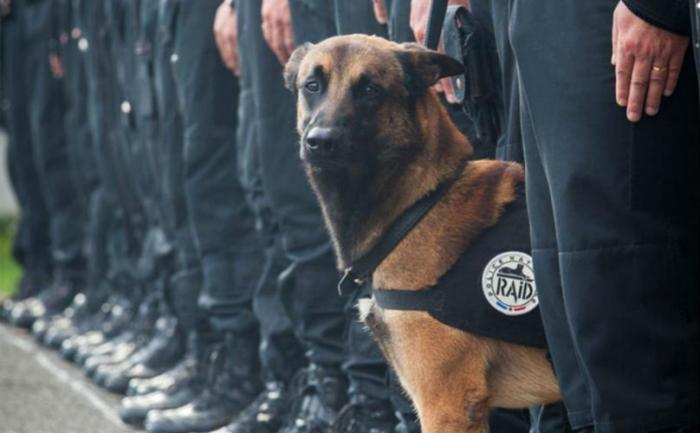 A cachorra Diesel morreu durante uma operação antiterrorista. (Foto: Reprodução / Bark Post)