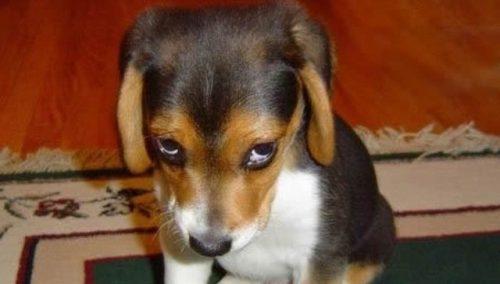 """A famosa """"cara de culpa"""" geralmente é um sinal de que o cachorro não está confortável com a situação. (Foto: Reprodução / Google)"""