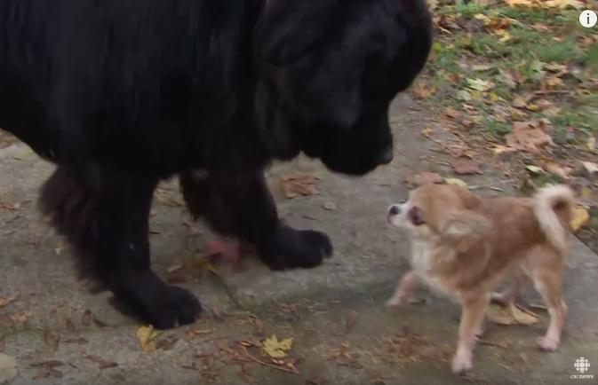 A chihuahua quis proteger seu irmão canino. (Foto: Reprodução / Youtube / CBC News)