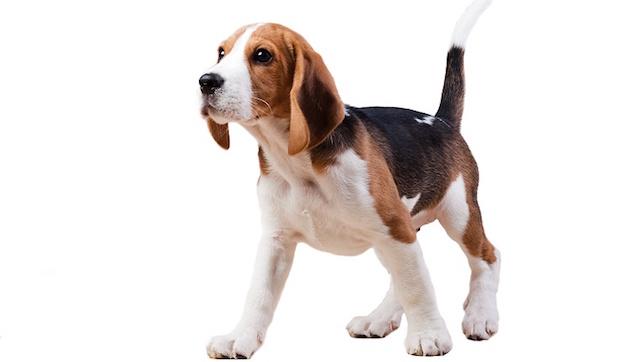 Beagle. (Foto: Reprodução / Dog Time / Shutterstock)